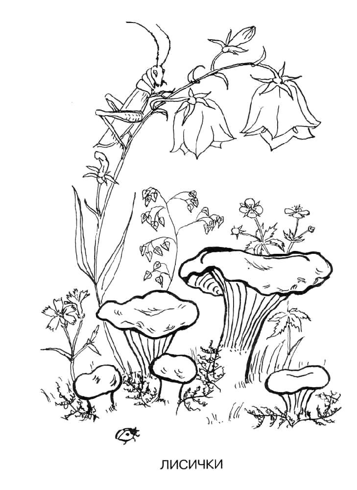 Раскраска  гриб лисичка. Скачать гриб.  Распечатать растения