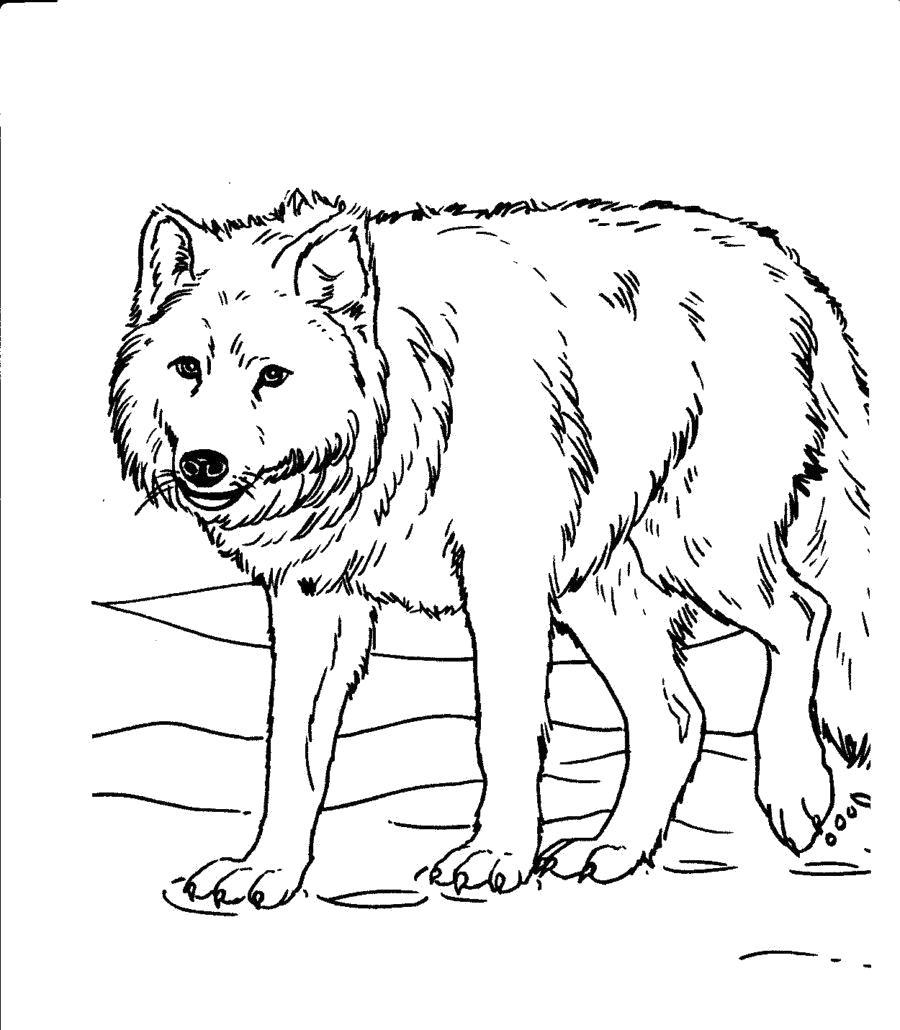 Раскраска  волк на охоте. Скачать волк.  Распечатать Дикие животные