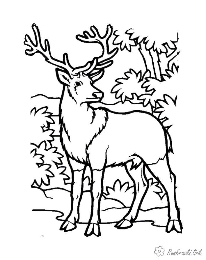 Раскраска . лесной олень. Скачать Олень.  Распечатать Дикие животные