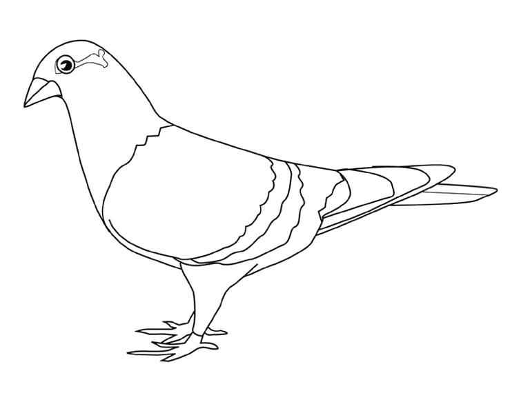 Раскраска  голубь, красивый голубь. Скачать Голубь.  Распечатать Голубь