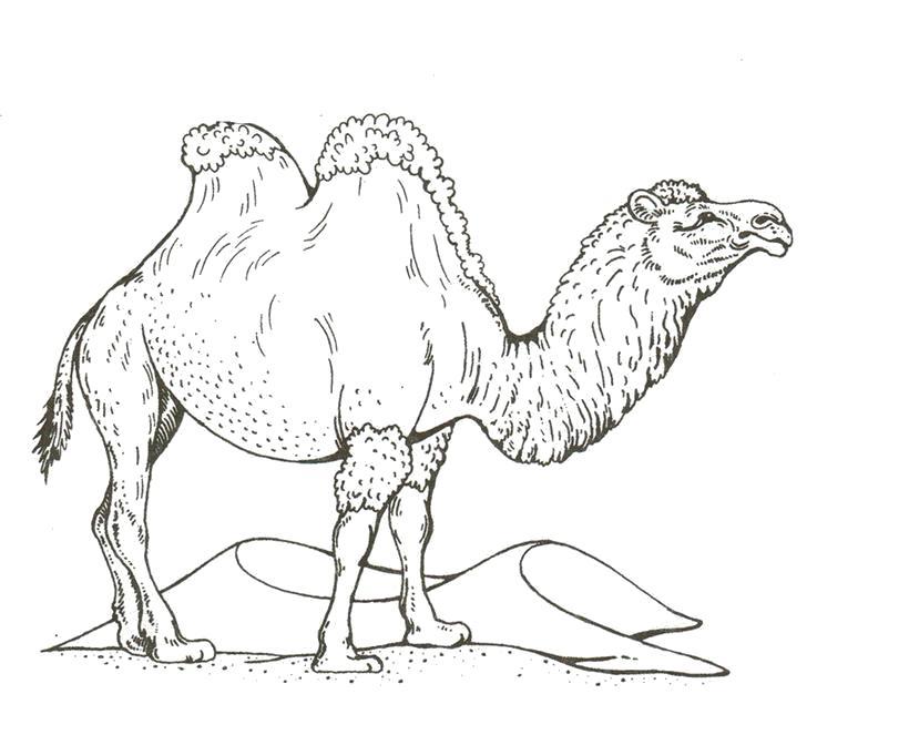 Раскраска Верблюд. Скачать Верблюд.  Распечатать Дикие животные