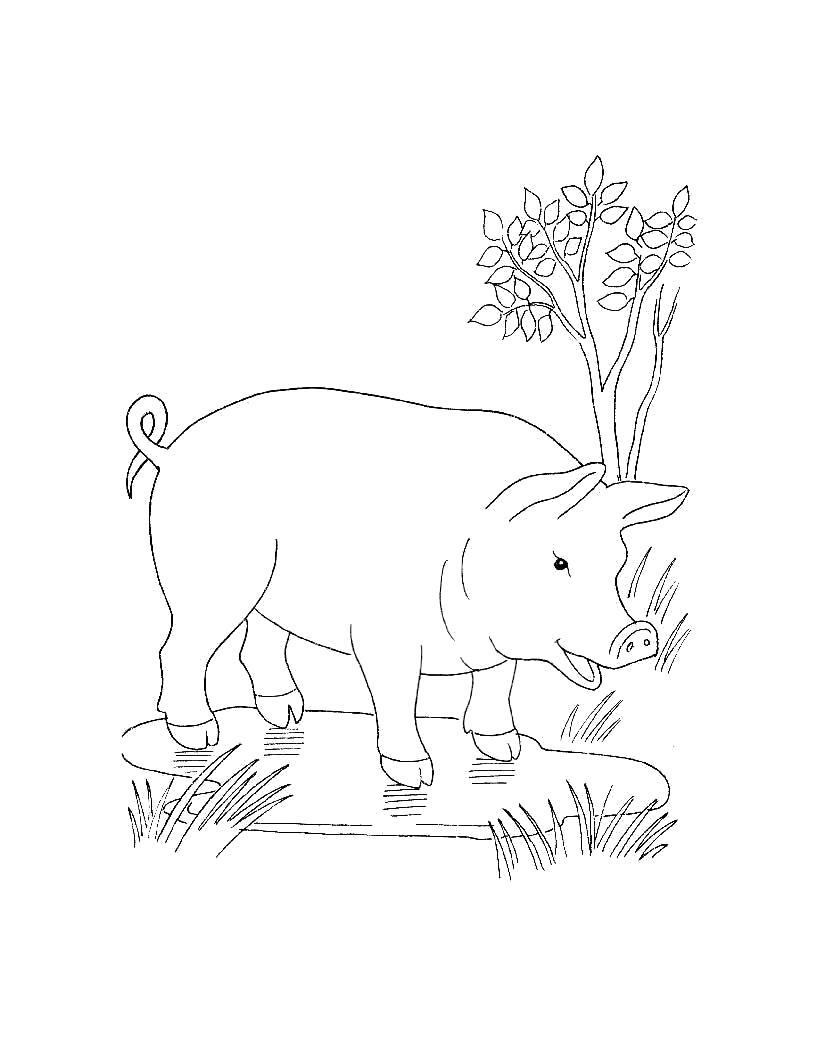Раскраска  для самых маленьких  Домашние животные поросенок. Скачать Свинья.  Распечатать Домашние животные