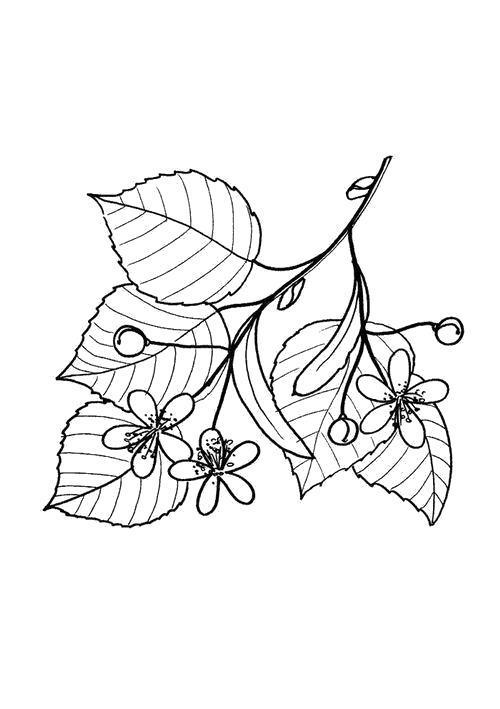 Раскраска  Веточка жасмина. Скачать Цветы.  Распечатать Цветы