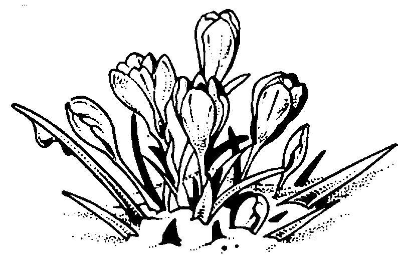 Раскраска Тюльпаны расцвели. Скачать .  Распечатать