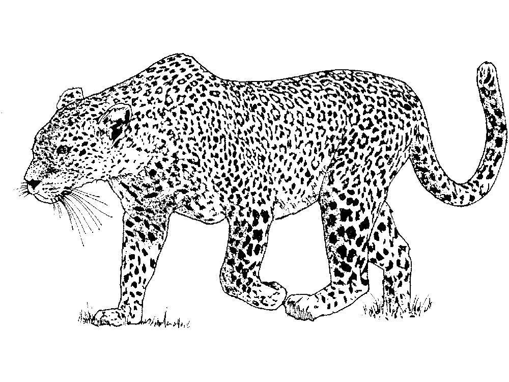 Раскраска  леопард поднял лапу. Скачать леопард.  Распечатать леопард