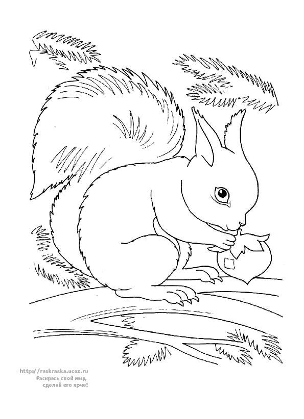 Раскраска белка кушает орешки. Скачать белка.  Распечатать Дикие животные