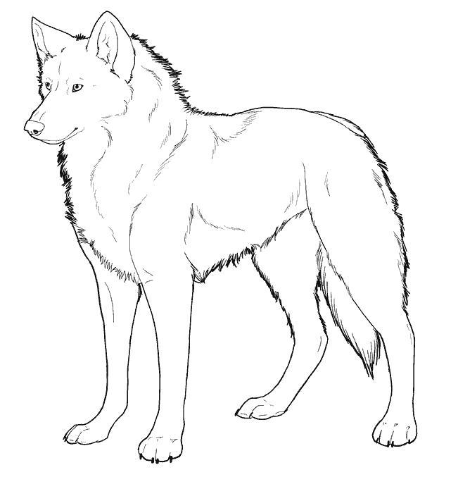 Раскраска волк, сильный волк. Скачать волк.  Распечатать волк
