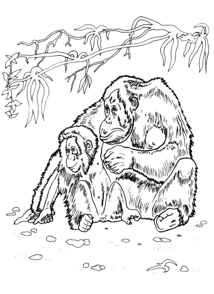 Раскраска  Гориллы. Скачать горилла.  Распечатать Дикие животные