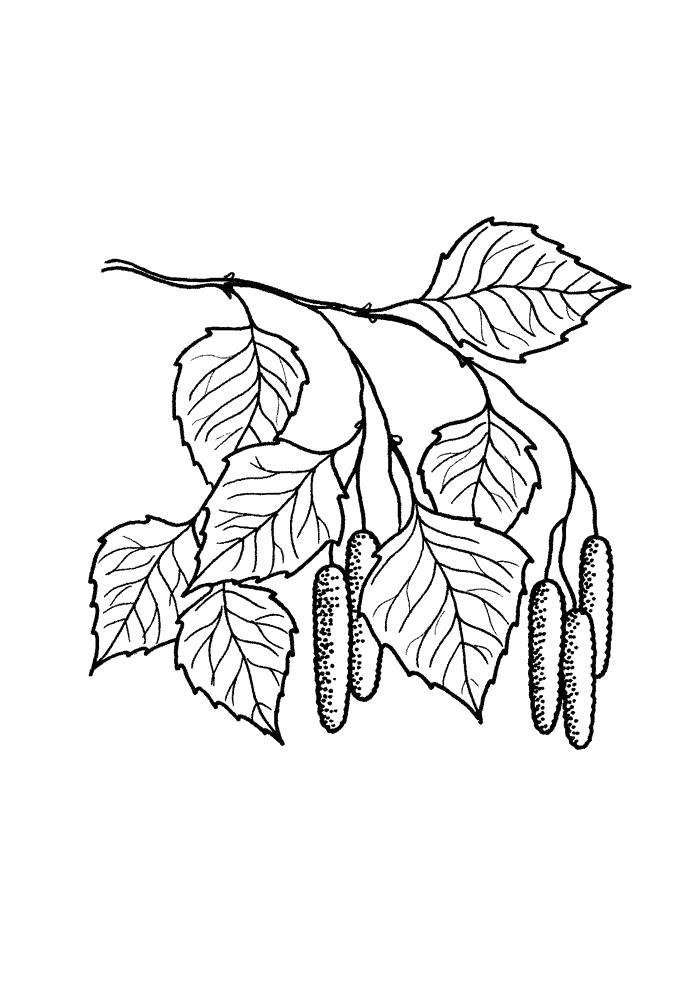 Раскраска Береза с бруньками  листья деревьев. Скачать листья.  Распечатать растения