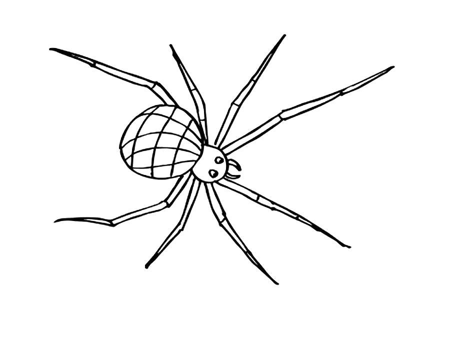 Раскраска  паук с длинными ногами. Скачать Паук.  Распечатать Паук