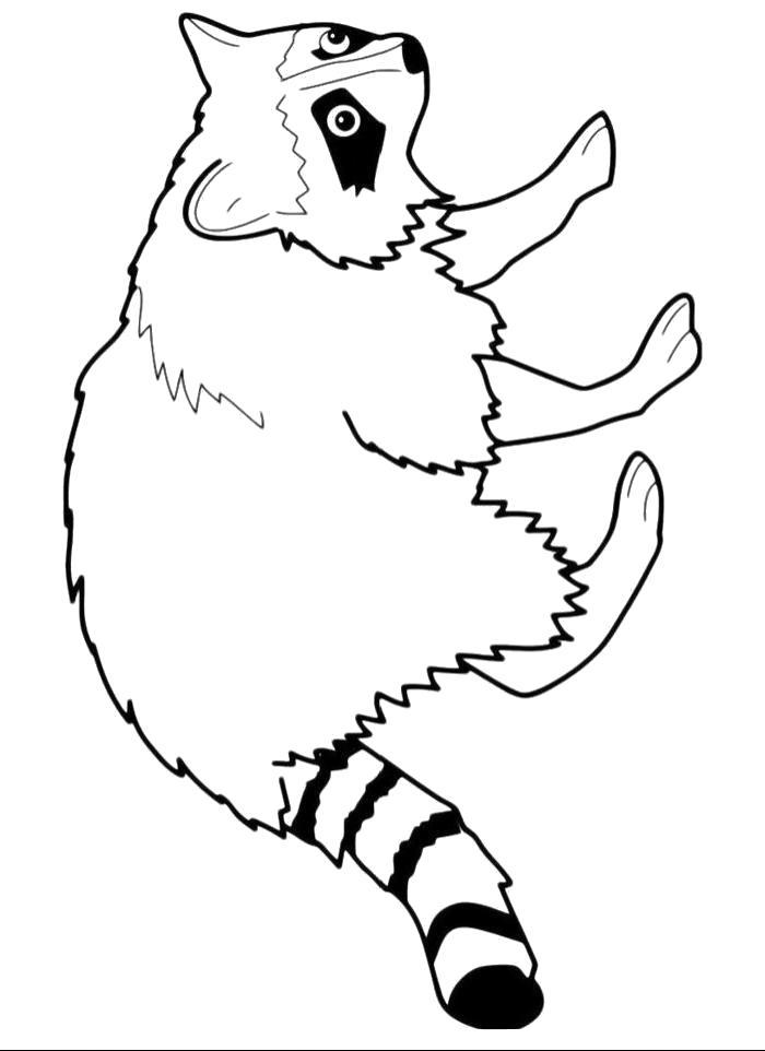 Раскраска красивый енотик . Скачать Енот.  Распечатать Дикие животные