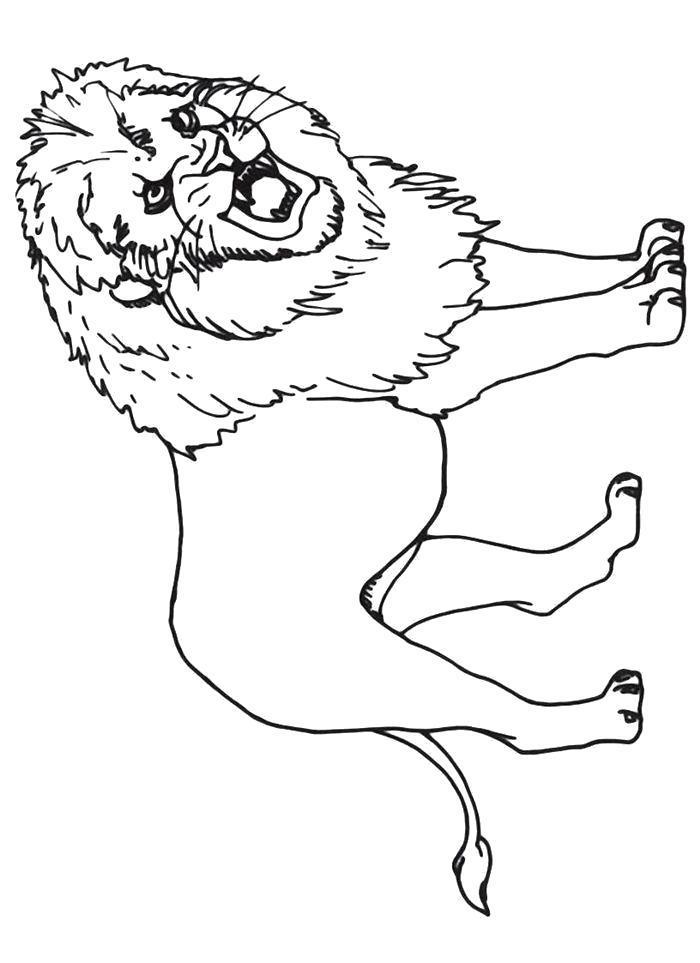 Раскраска  Лев рычит. Скачать Лев.  Распечатать Лев