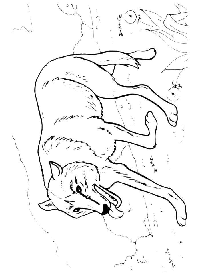 Раскраска  Уставший волк. Скачать волк.  Распечатать волк