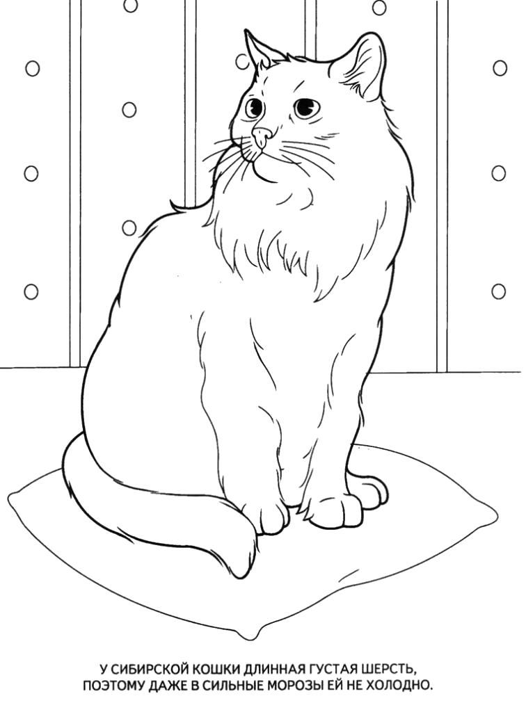 Раскраска  Сибирская кошка. Скачать кошка.  Распечатать кошка