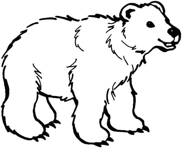 Раскраска Полярный медведь. Скачать .  Распечатать