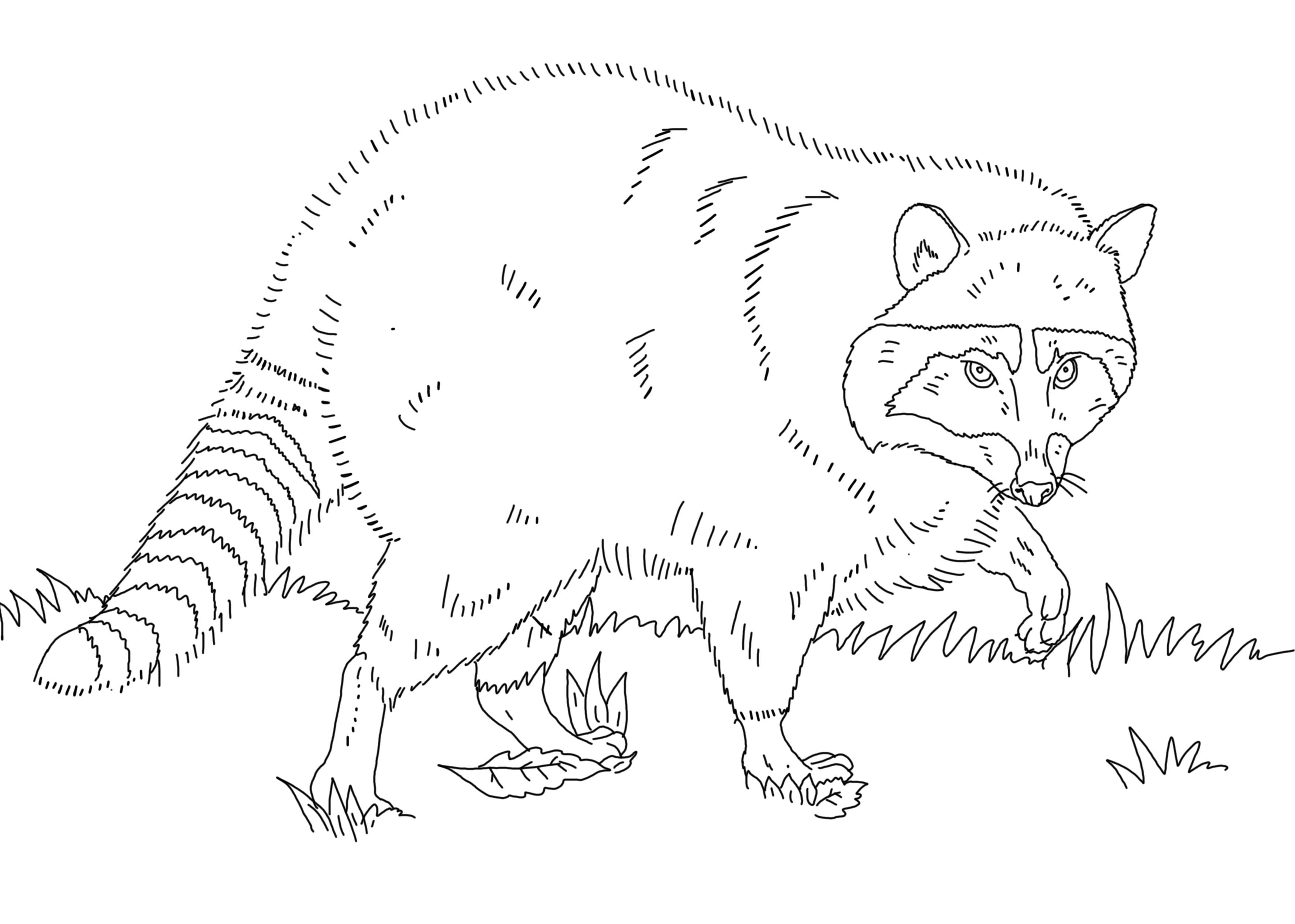 Раскраска Енот. Скачать животные.  Распечатать животные