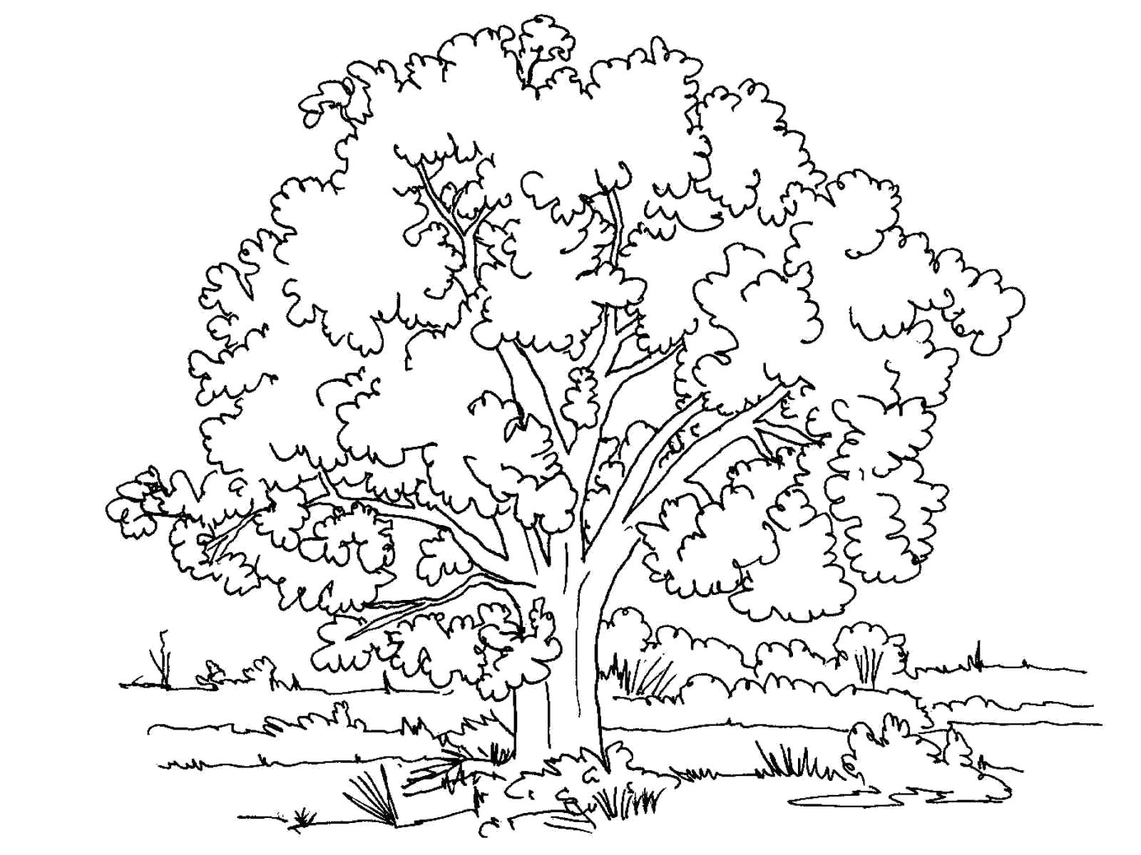 Раскраска Большое дерево. Скачать деревья.  Распечатать деревья