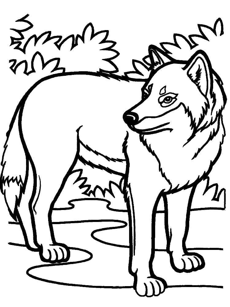 Раскраска Лесной волк. Скачать .  Распечатать