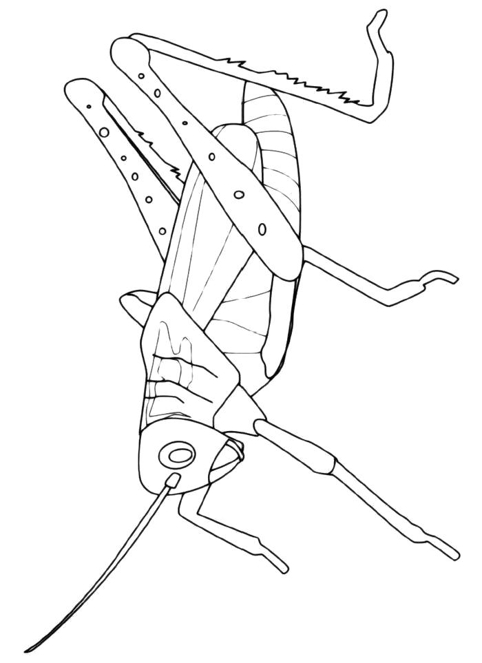 Раскраска  Кузнечик с большими ногами. Скачать Кузнечик.  Распечатать Кузнечик