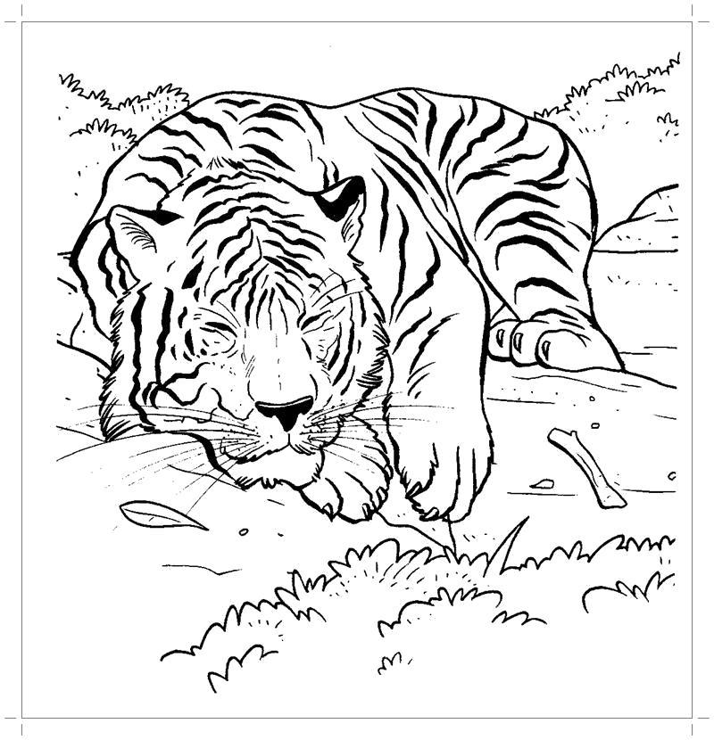 Раскраска  тигренок. Скачать Тигр.  Распечатать Дикие животные