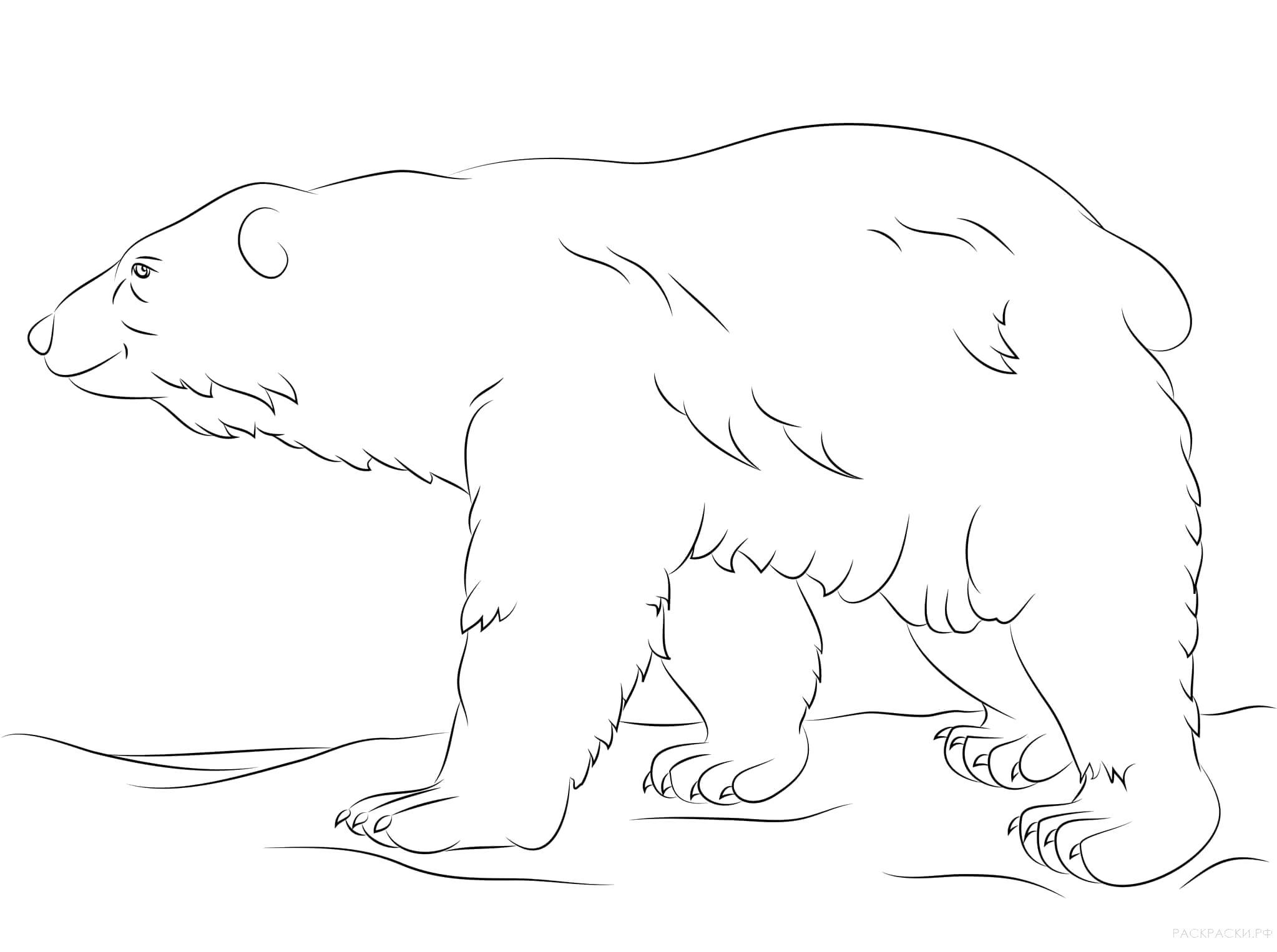Раскраска Гуляющий белый медведь. Скачать медведь.  Распечатать медведь