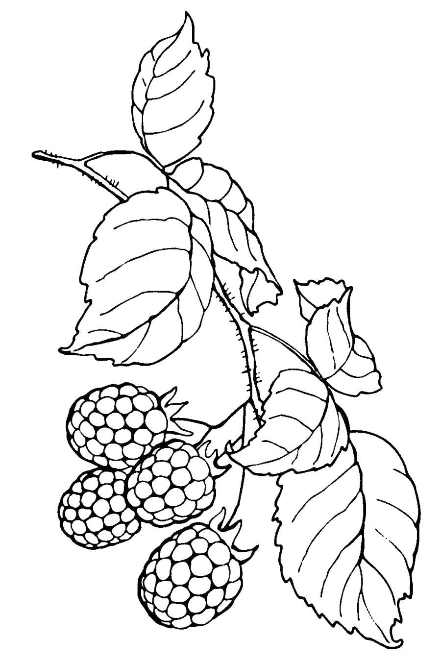 Раскраска Малиновые ягоды . Скачать малина.  Распечатать ягоды