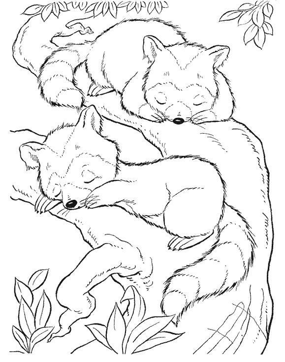 Раскраска еноты спят на дереве. Скачать Енот.  Распечатать Енот