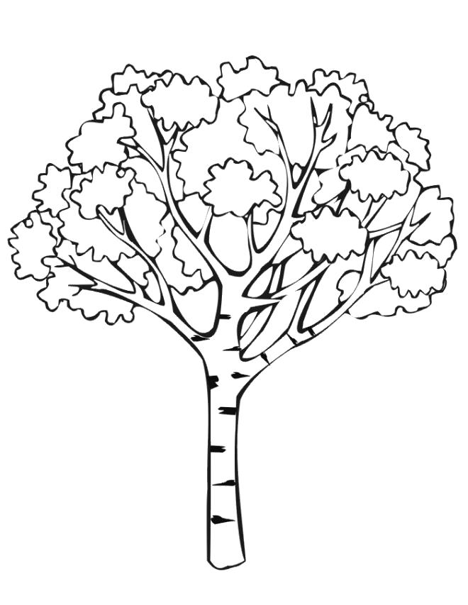 Раскраска  берёза. Скачать деревья.  Распечатать деревья
