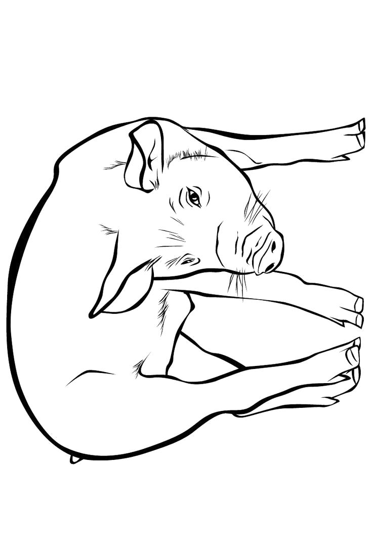 Раскраска Свинья. Скачать Свинья.  Распечатать Домашние животные