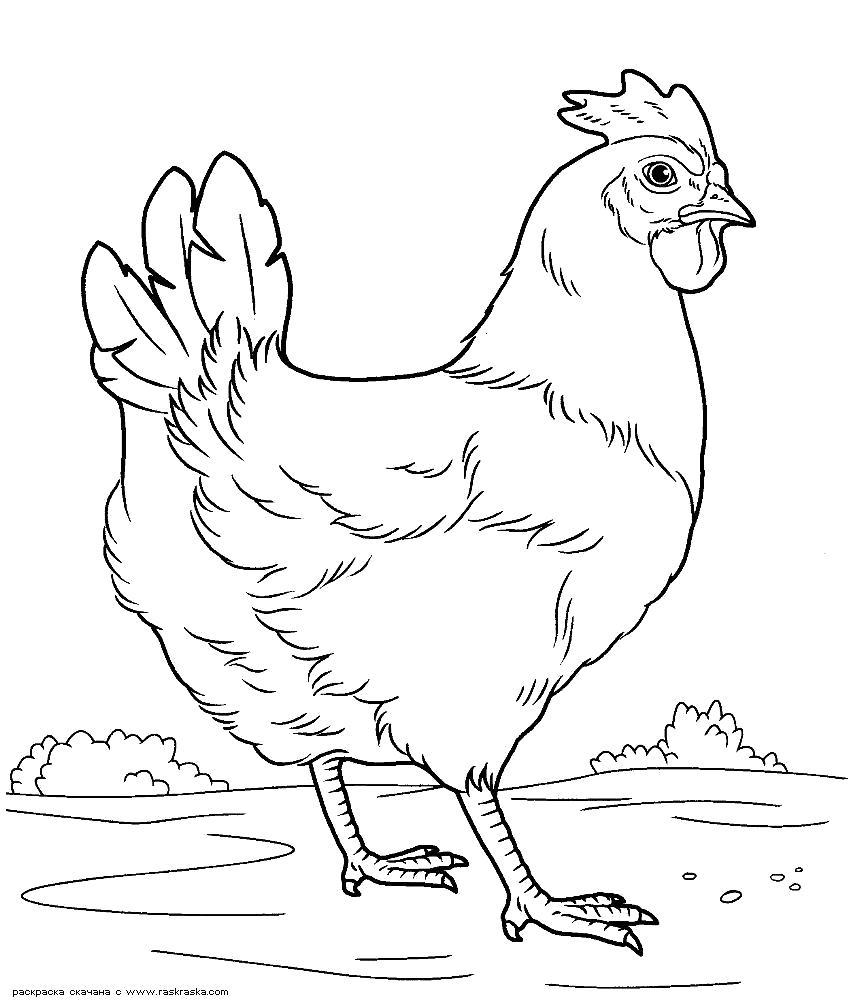 Раскраска  Курочка. Скачать Курица.  Распечатать Домашние животные