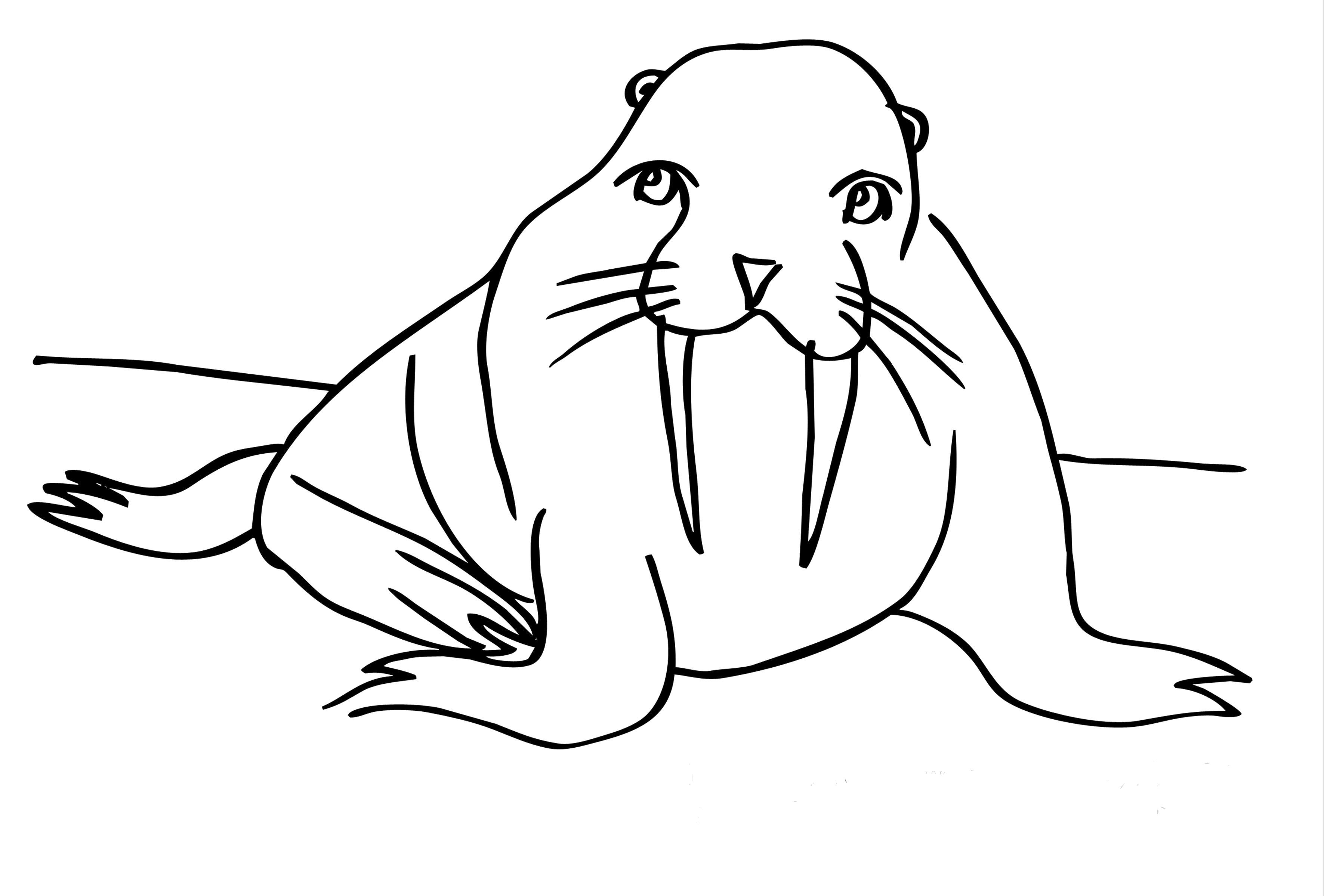 Раскраска Милый морж. Скачать Морж.  Распечатать Морж