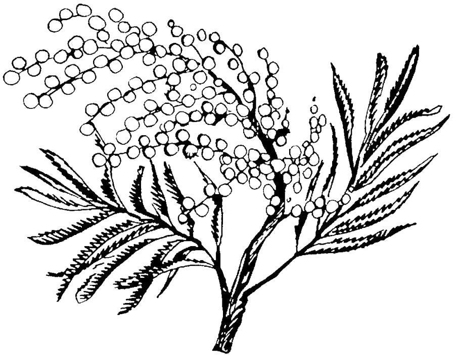 Раскраска Большая ветка мимозы.