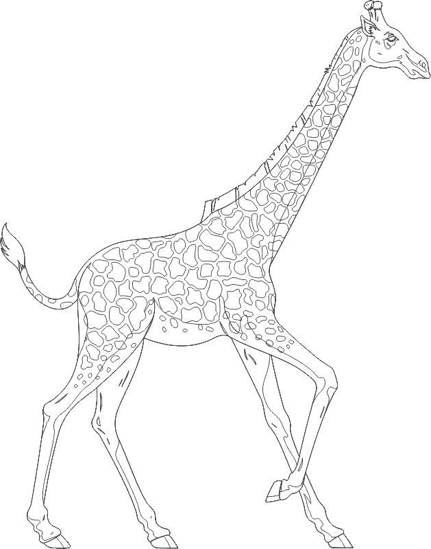 Жираф картинки раскраски