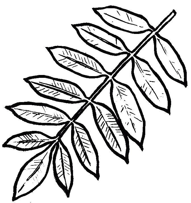 картинка для раскрашивания лист рябины