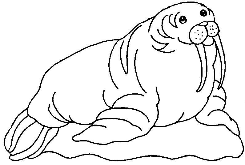 картинка моржа для раскраски увидите, как