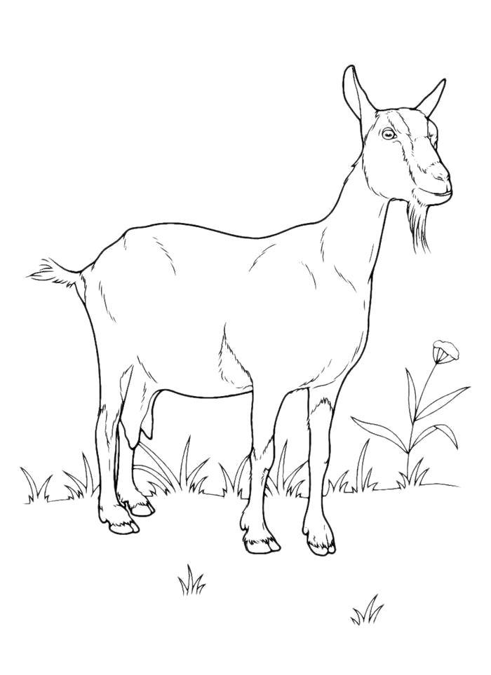 Раскраска Раскраска Довольная каза на лугу. Коза