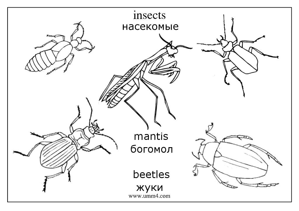 Раскраска  насекомые,  жук,  бабочка,  муха,  кузнечик,  гусеница,  комар,  оса, насекомые на английском языке. Скачать Жук.  Распечатать Жук