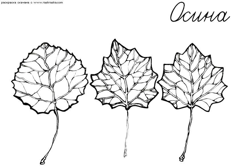 Раскраска Раскраска Листья осины. Раскраска Окружающий мир раскраски, раскраски листьев для детей. Контуры листьев