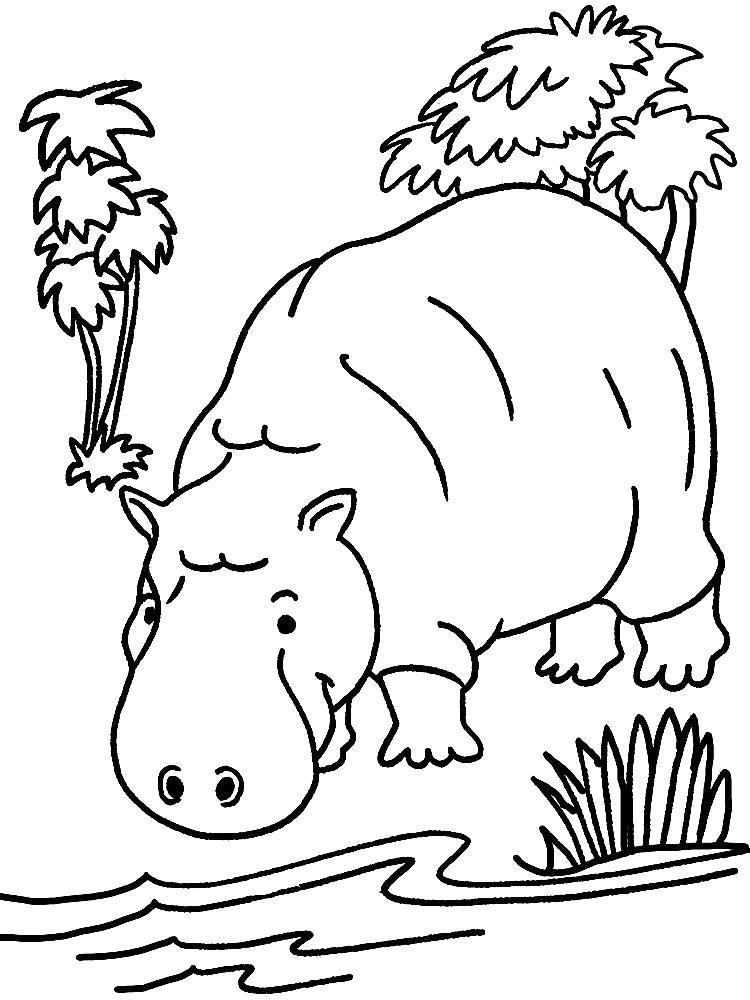 Раскраска Бегемот на водопое.