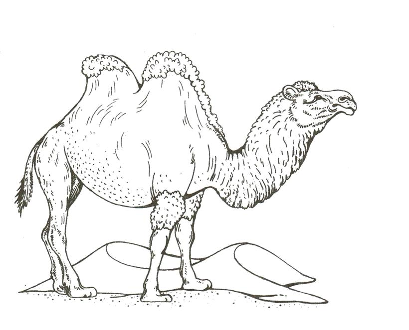 Раскраска Верблюд. Дикие животные