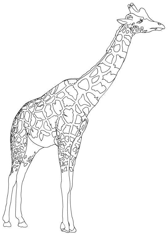 Раскраска Жираф. жираф