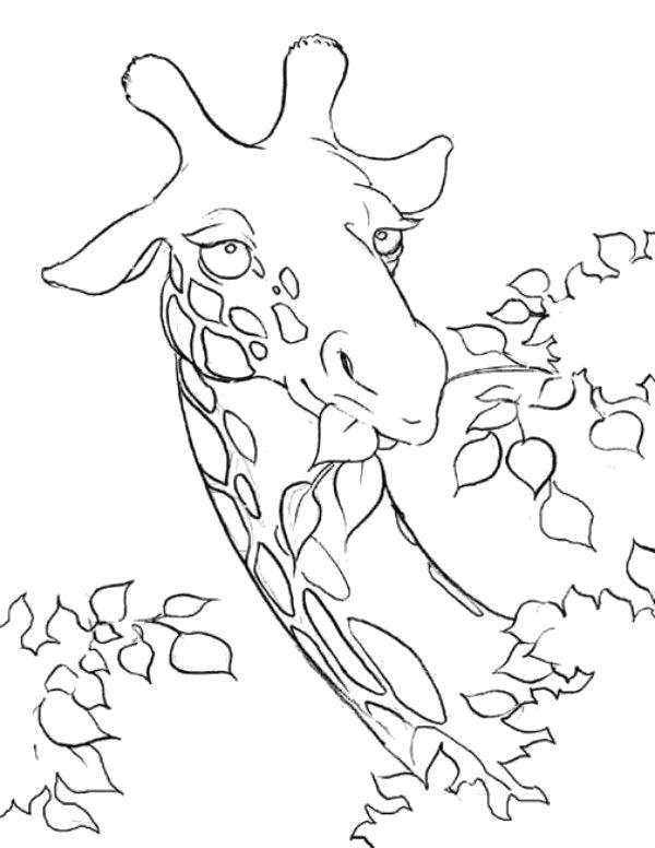 Раскраска жираф кушает листву . Дикие животные