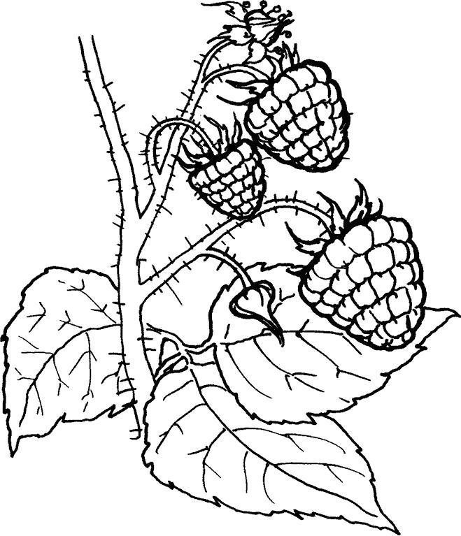Название: Раскраска ягода малина. Категория: . Теги: .